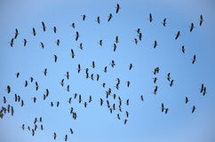 Flying flock of mallards in the sky. Wild ducks during autumn migration. Stock Photography