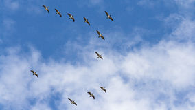 Flying wild geese Stock Images
