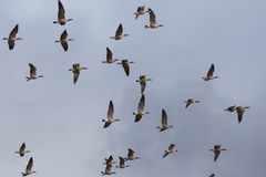 Flying wild geese. Flock of wild geese in sky Royalty Free Stock Images