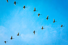 Flying wild goose Stock Images