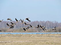 Flying wild goose , Lithuania Stock Image