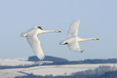 Free Flying With The Swans Stock Photos - 13544193