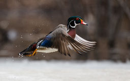 Free Flying Wood Duck Stock Images - 91922114