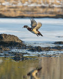 Flying Wood Duck Drake Stock Photography