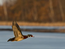 Flying Wood Duck Royalty Free Stock Photos
