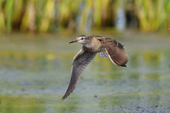 Flying Wood Sandpiper above the marsh Royalty Free Stock Photos