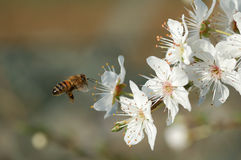 Flying worker bee. And white flowers Royalty Free Stock Images