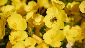 Flying worker bee collects nectar from field of yellow flowers. Spring nature background. Closeup. 4K stock footage