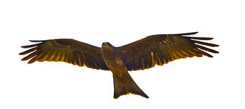 Flying Yellow-billed kite Royalty Free Stock Photo