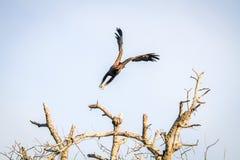 Flying Yellow-billed kite. Stock Photos
