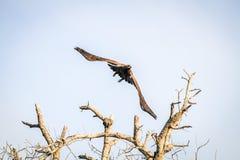 Flying Yellow-billed kite. Royalty Free Stock Photo