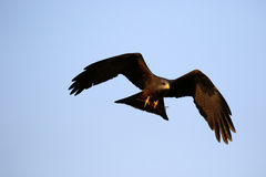 Flying Yellow-billed kite Royalty Free Stock Photos