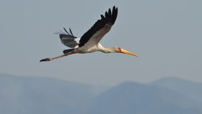 Flying yellow-billed stork Royalty Free Stock Image