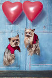 Flying Yorkshire Terrier dogs. Two Yorkshire Terrier dogs flying with balloons Royalty Free Stock Image