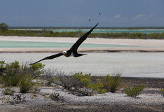 Flying Young Frigate Bird. Stock Images
