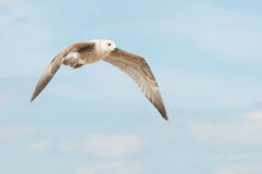 Flying young seagull Royalty Free Stock Photography