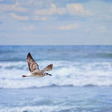 Flying Young Seagull Stock Image