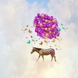 Flying zebra Stock Photo