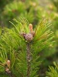 Flykter av ett sörjaberg med kottar och njure (Pinusmugoen Tu Arkivbild
