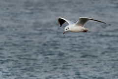 flyling seagull Zdjęcie Royalty Free