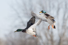 Flyng Mallard Duck. A flying Drake Mallards on a cold winter day Royalty Free Stock Image