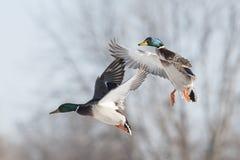 Flyng Mallard Duck Royalty Free Stock Image