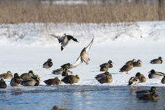 Flyng Mallard Duck. A flying  Mallards on a cold winter day Stock Image