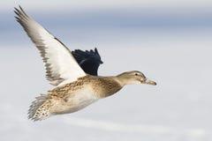 Flyng Mallard Duck Stock Image
