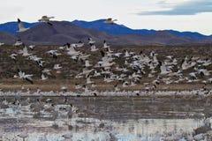Flyout da manhã dos gansos de neve foto de stock