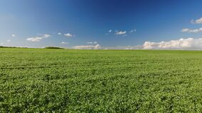 Flyover above a field of young peas, blue sky on background. Agriculture theme. Drone 4k, zoom in