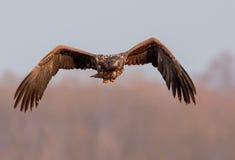 flys Branco-atados da águia a mim Fotografia de Stock