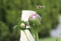 Flys d'abeille partis photographie stock