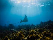 Flys da raia de águia através de um recife coral Fotos de Stock Royalty Free
