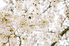 Flys de una abeja en un árbol de la flor de cerezo Imagenes de archivo