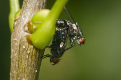 Flys mating Royalty Free Stock Photography