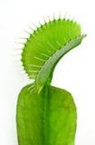 flytrap Αφροδίτη Στοκ φωτογραφία με δικαίωμα ελεύθερης χρήσης
