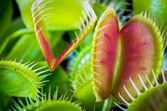 Flytrap της Αφροδίτης Στοκ Εικόνες