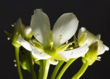 Flytrap της Αφροδίτης λουλούδι Στοκ εικόνα με δικαίωμα ελεύθερης χρήσης