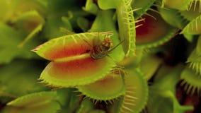 Flytrap της Αφροδίτης απόθεμα βίντεο