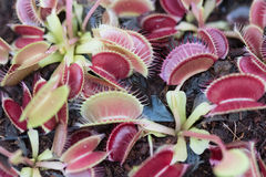Flytrap Ready. This tray of baby Venus flytraps awaits volunteers to plant them in the Stanley Rehder Carnivorous Garden in Wilmington, North Carolina Royalty Free Stock Photos