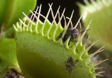 flytrap venus Obrazy Stock