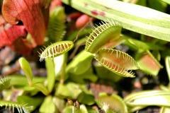 flytraps Αφροδίτη στοκ φωτογραφίες