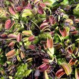 flytraps της Αφροδίτης Στοκ Φωτογραφία