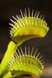 flytrapvenus royaltyfria foton