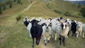 Flytta en fårflock till betar stock video