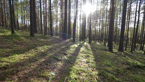 Flytta sig över den djupa Lens för solljus för skott för sörja-gran skogPov signalljuset lager videofilmer