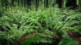 Flytta sig förbi ormbunkar i grönskande skog arkivfilmer