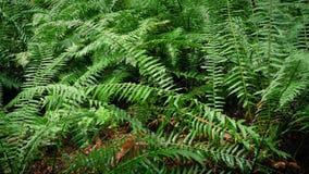 Flytta sig förbi täta Forest Ferns arkivfilmer