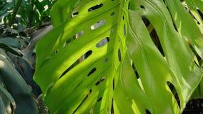Flytta sig ner en enorm djungelväxt lager videofilmer