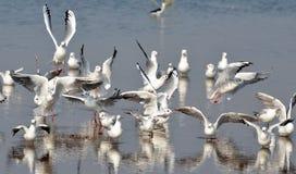 Flyttfågelhavsfiskmåsar kom till Bhopal royaltyfri bild